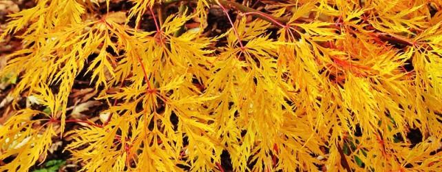 Beautiful Fall  Japanese Maples