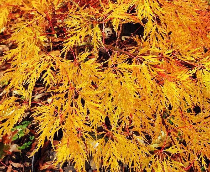 Japanese Maple Ellen, acer palmatum dissectum