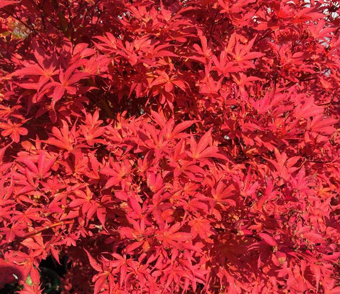 Acer Palmatum Royale, Royale Japanese Maple
