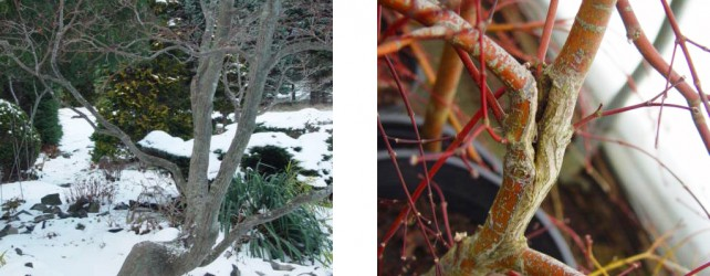 Broken Branches on Japanese Maples