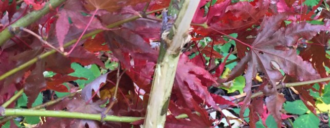 What Ate My Japanese Maple Trees?