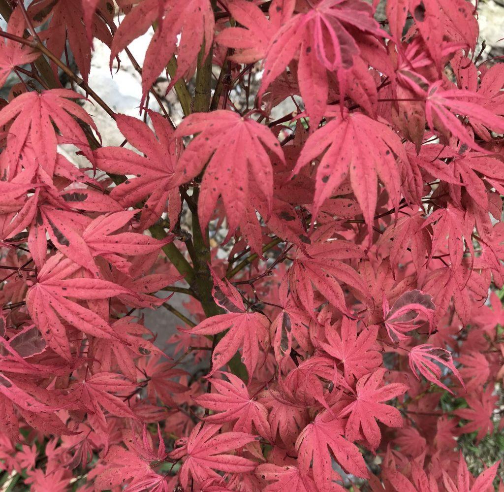 geisha gone wild japanese maple leaves