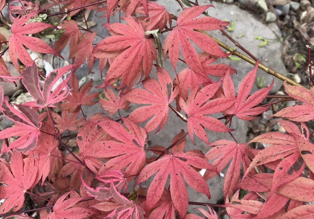 acer palmatum geisha gone wild foliage