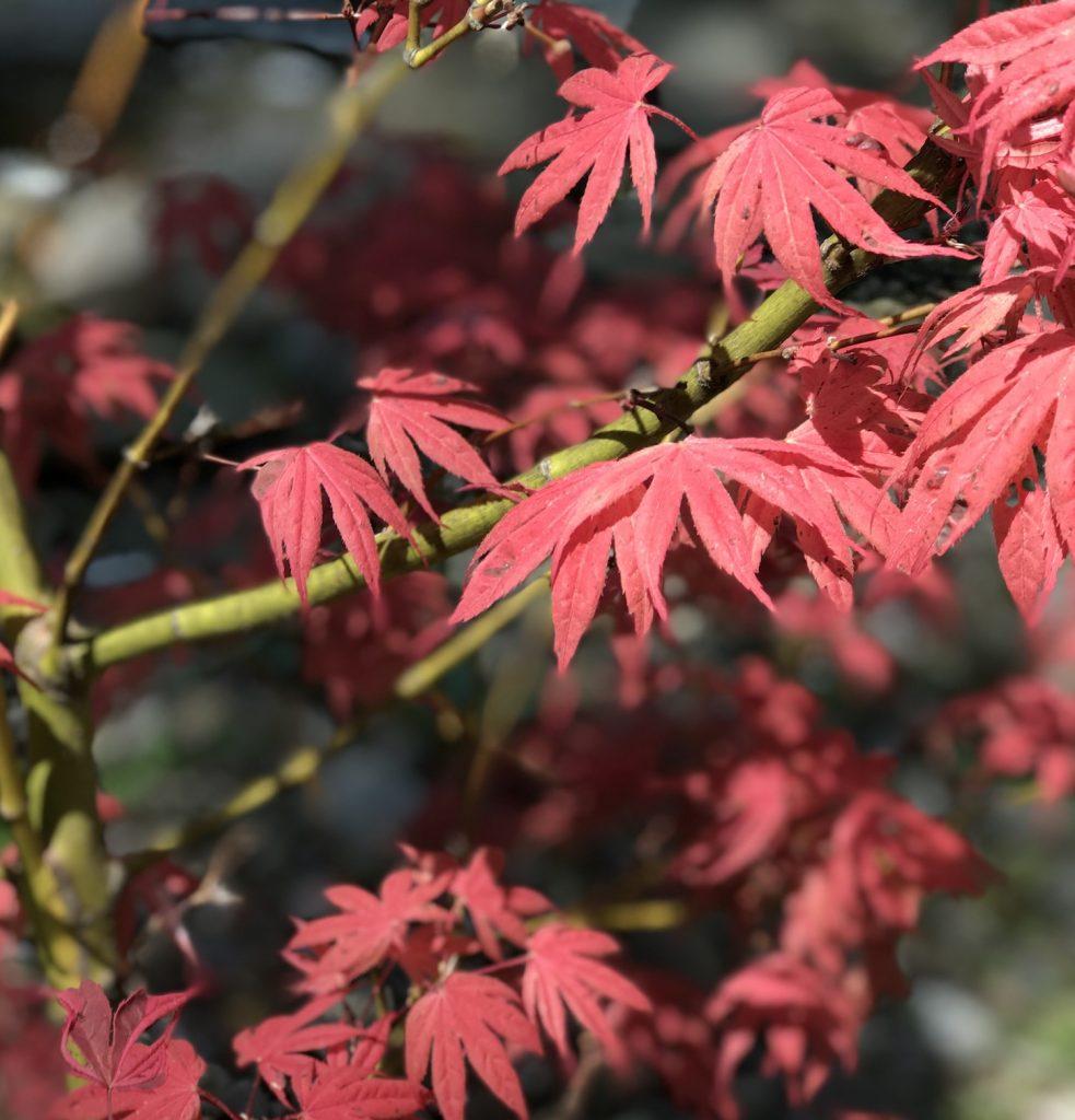 geisha gone wild japanese maple bark